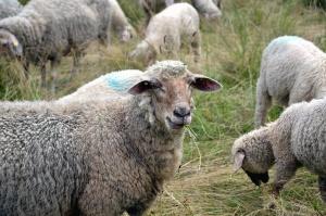 Pecore, erba, lana, campo, agnello