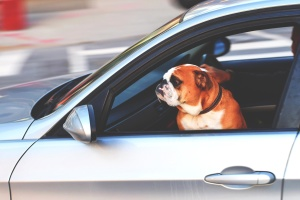 animal, dog, car, pet