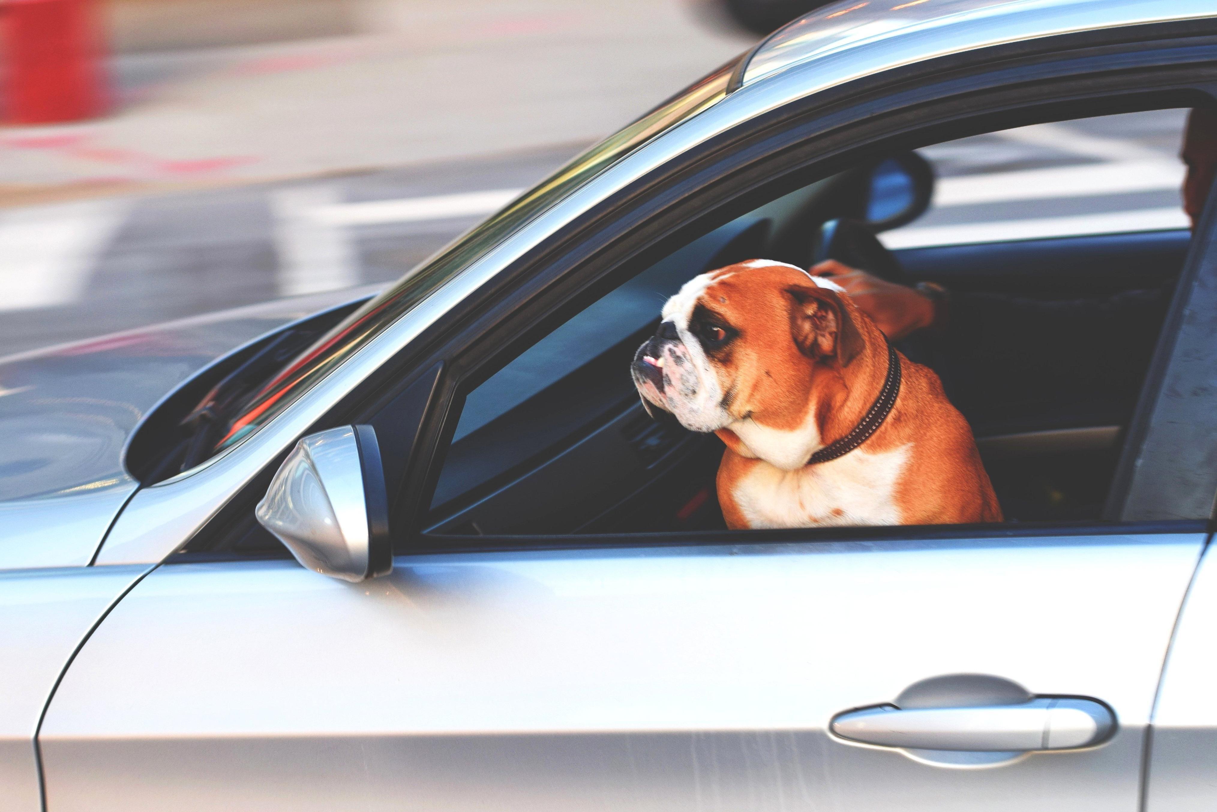 Free picture: animal, dog, car, pet