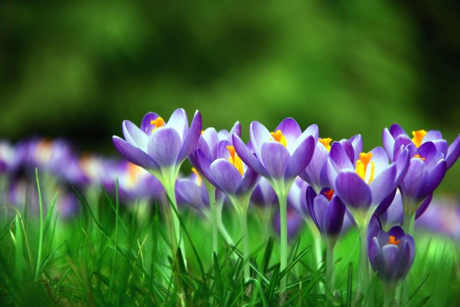 crocus, flower, petal, grass, flowering, meadow
