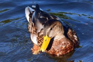 duck, beak, feather, water, bird