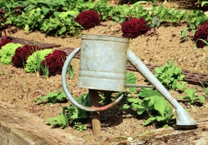 watering pot, salad, colorful, soil, vegetable, agriculture
