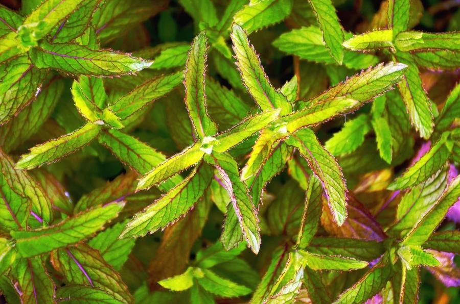 Image libre plante feuille color arbuste for Plante 7 feuilles