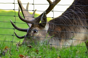 deer, antler, animal, grass, fence