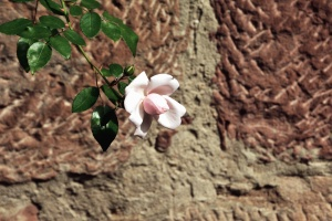 květ, okvětní lístek, list, rostlina, rose, zeď