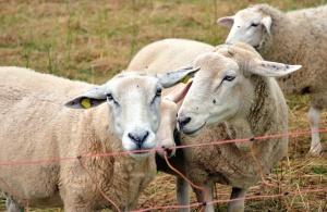 juh, kerítés, állat, gyapjú, állomány, fű