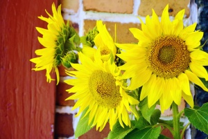 sunflower, petals, flower, plant, wall, brick