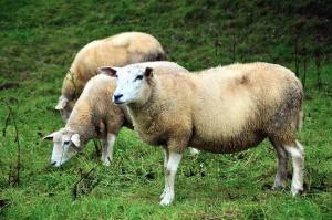 Pecore, erba, prato, lana, animale