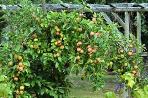 apple, tree, branch, leaf, orchard, fruit