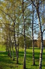 Birch, pohon, rumput, hutan, alam