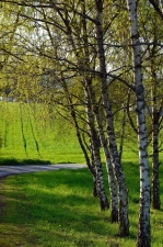 birch, tree, road, grass, forest, nature