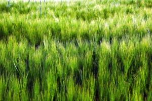 viljan, kasvi, kenttä, sato, vilage, maatalous
