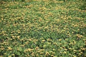 flower, blossom, dandelion, grass, meadow