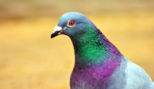 pigeon, bird, feather, beak, colorful, color