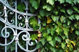plant, fence, metal, ivy, leaf