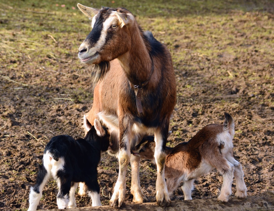 goat, goatling, herd, animals, fur, domestic animal