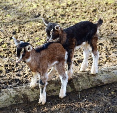 goatling, animal, fur, wood, cub