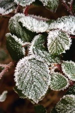 leaf, plant, frost, frozen, ice, winter