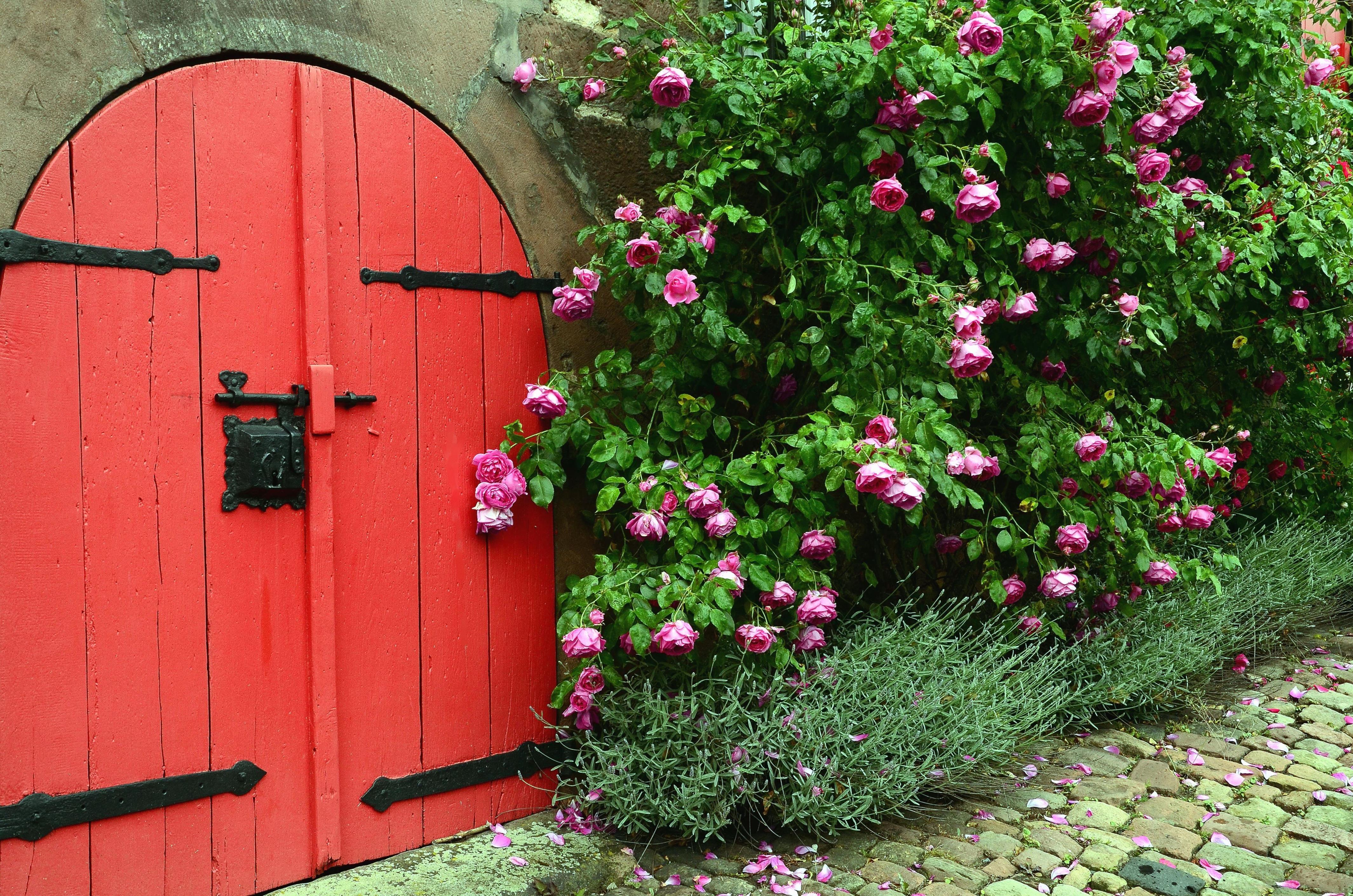 door wood wall rose flower bush petal leaf & Free picture: door wood wall rose flower bush petal leaf