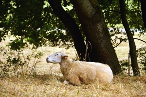 dry grass, sheep, tree, animal, wool