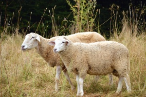 sheep, meadow, grass, bush, wool, animal