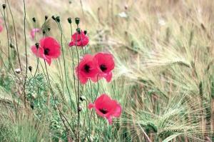 poppy, grass, plant, leaf, flower