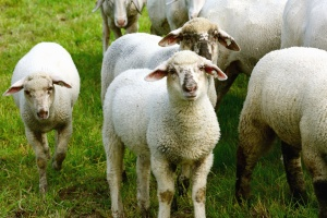 sheep, wool, animal, grass, herd