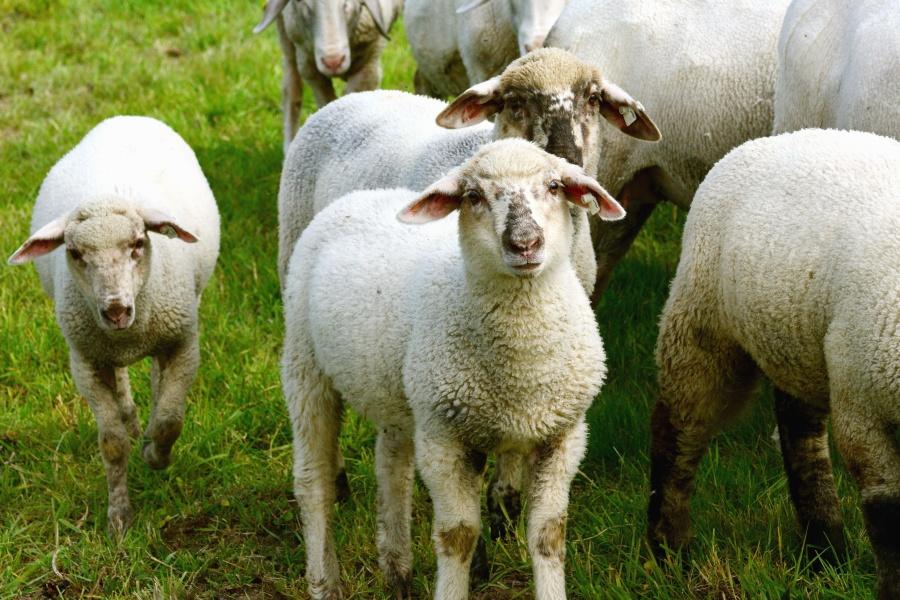 Pecore, lana, animale, erba, mandria