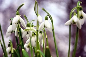 Snowdrop, flor, pétalo, planta, hoja, primavera