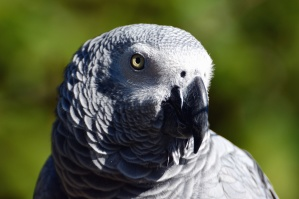 папагал, пера, клюн, птици, животни