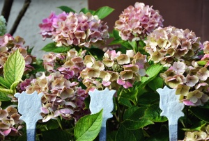 цветя, здравец, листа, растения, градински