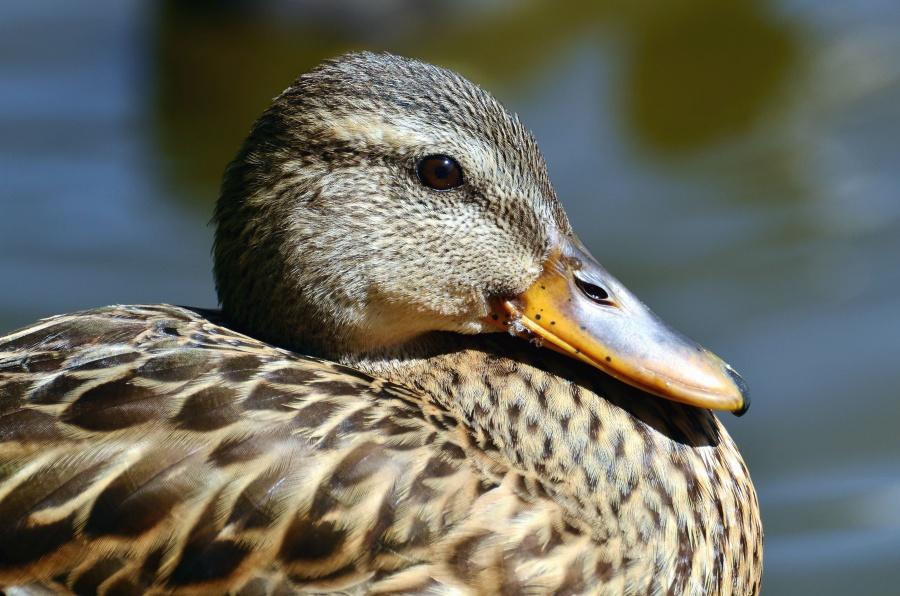 патица, клюн, птици, животни, пера, главата