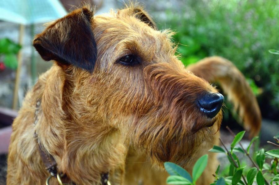 Hund, Tier, Haustier, Haustier, Pelz, Schnauze