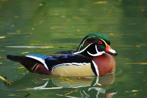 pták, kachna, voda, peří, plavání, zobák