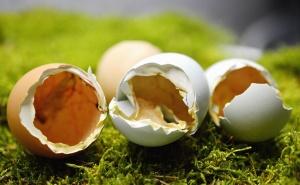 egg, shell, chicken, animals, grass