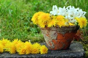 flowerpot, dandelion, flower, white flower, plant, grass