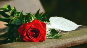 αυξήθηκε, λουλούδι, τραπέζι, πέταλο, φύλλο