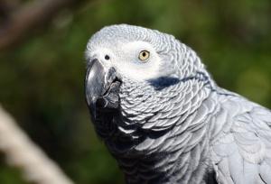 малък дългоопашат папагал, птица, клюн, перо