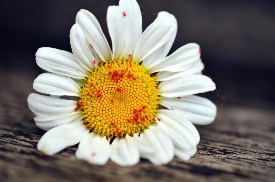 květ, okvětní lístek, daisy, kvetení, rostliny
