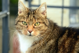 cat, pet, domestic animal, whisker, fur, animal