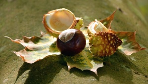 shell, chestnut, thorn, tree, autumn, leaf