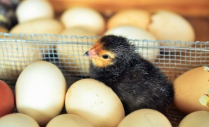 chicken, incubator, egg, poultry