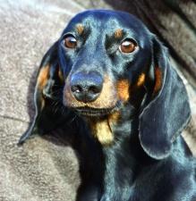 dog, animal, pet, muzzle, eyes, ear