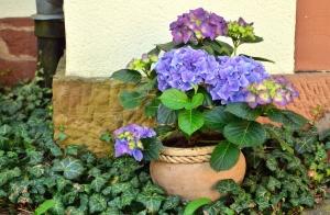 Geranium, klimop, bloempot, bloem, plant, blad