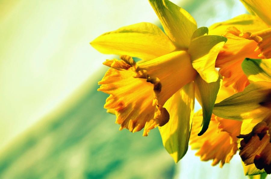 daffodil, flower, petal, plant, nature, leaf