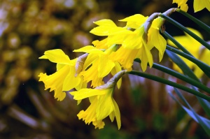 daffodil, haulm, yellow flower, plant, petal, garden