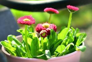 plant, flower, flowering, petal, flowerpot