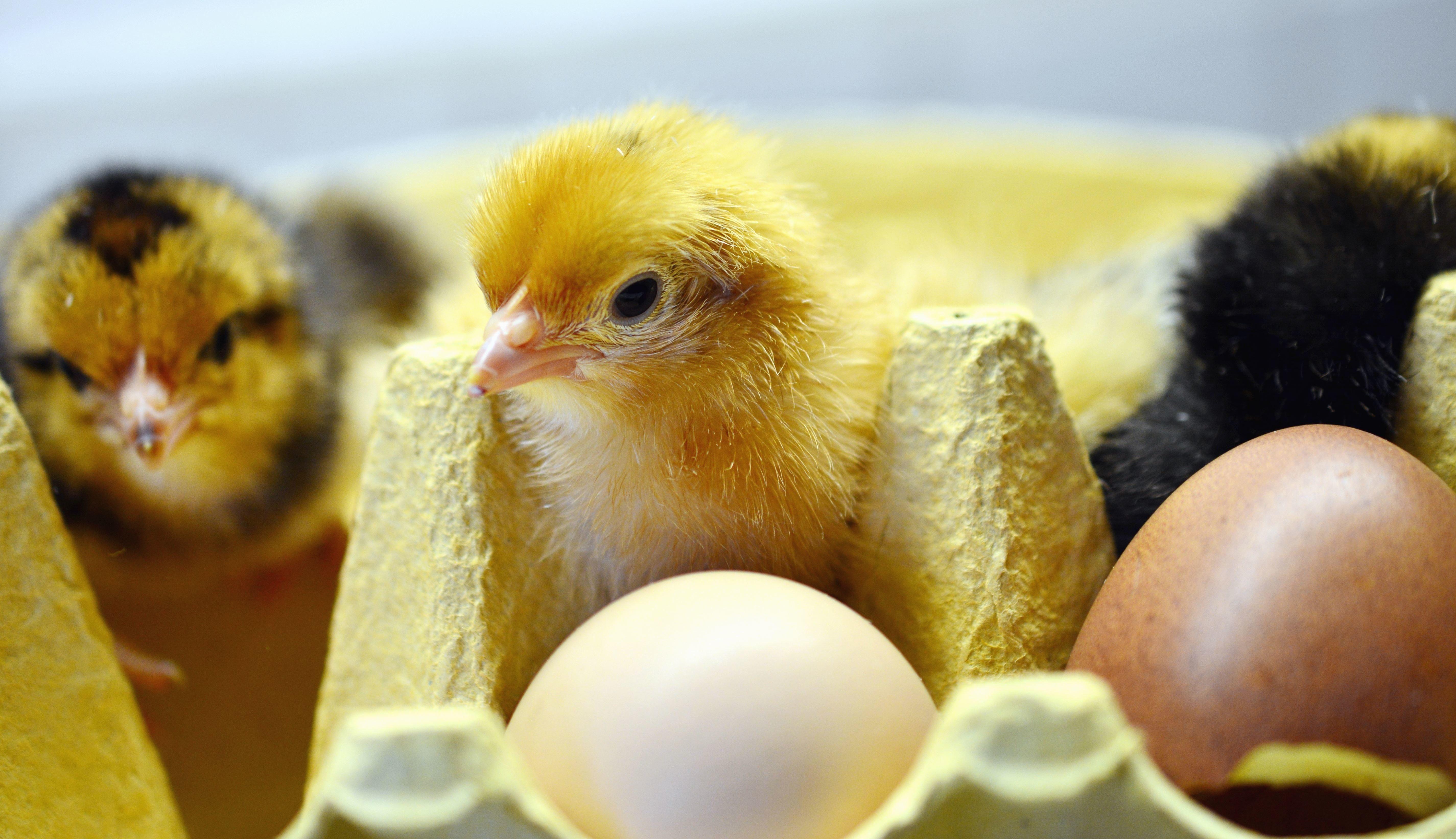 Картинки с яйцом и цыпленком