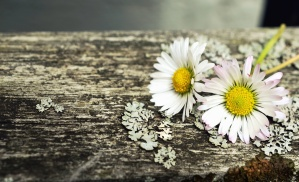 daisy, flower, petal, pollen, moss, wood