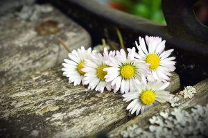 wood, flower, petal, daisy, spring, plant